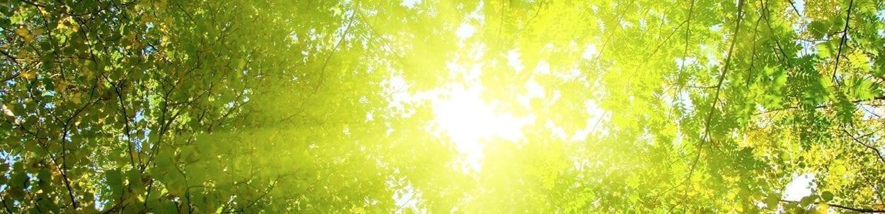 sun rays through the high trees