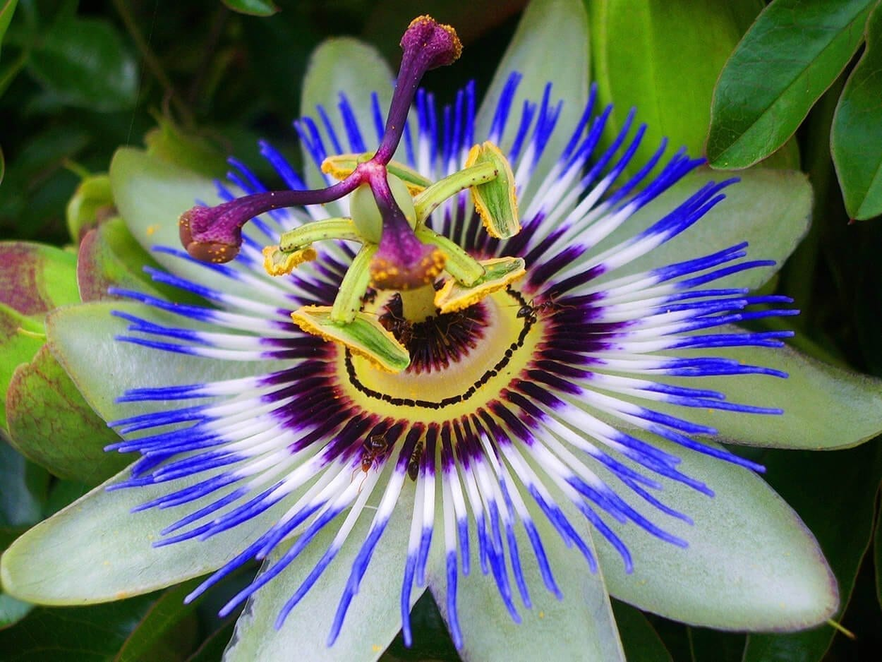 Passion Flower - Top 10 herbs for relaxation