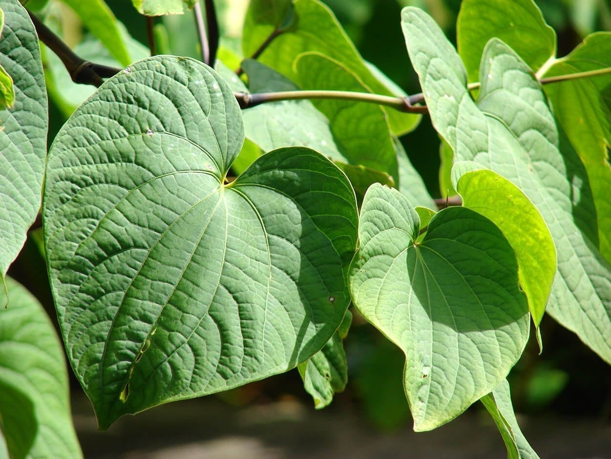 Kava Kava - Top 10 herbs for relaxation