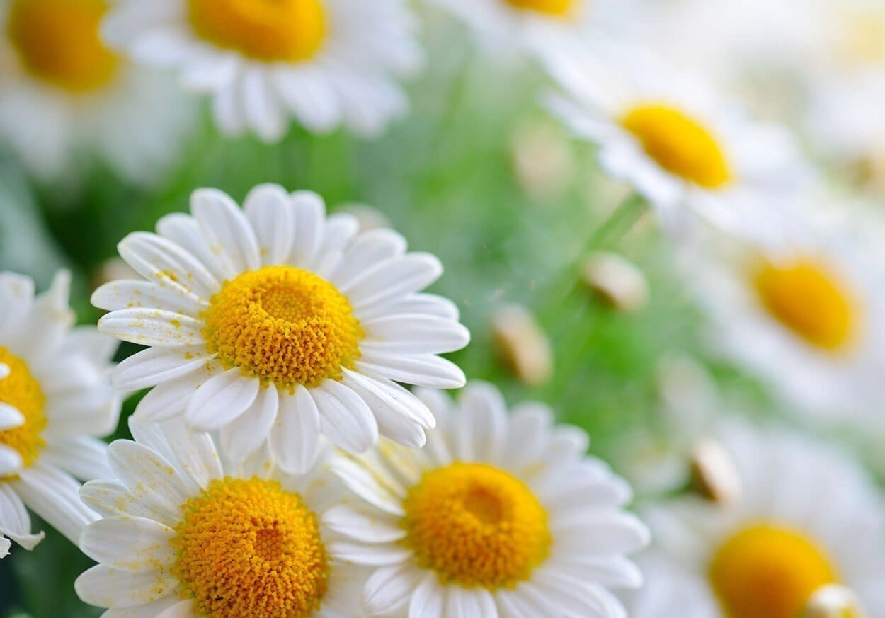 Chamomile - Top 10 hears for relaxation