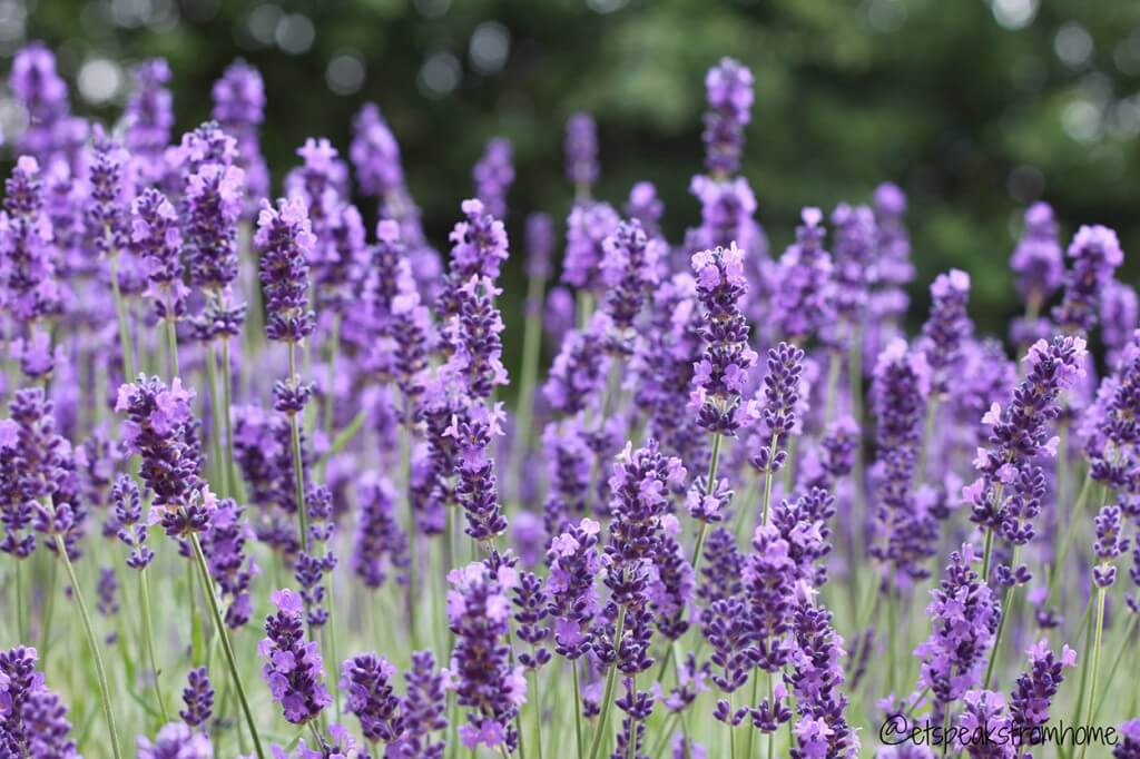 Lavender - Top 10 herbs for relaxation