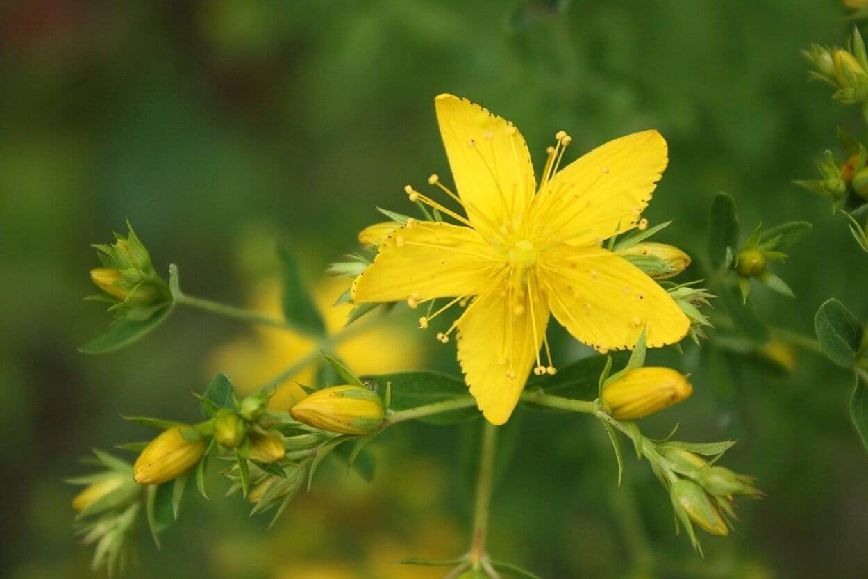 St John's Wort - Top 10 herbs for relaxation