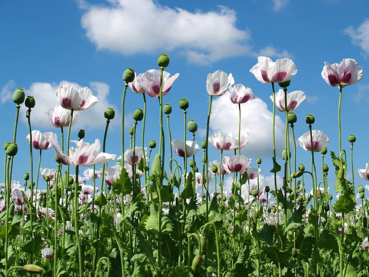 SNHS-herbal-flowers