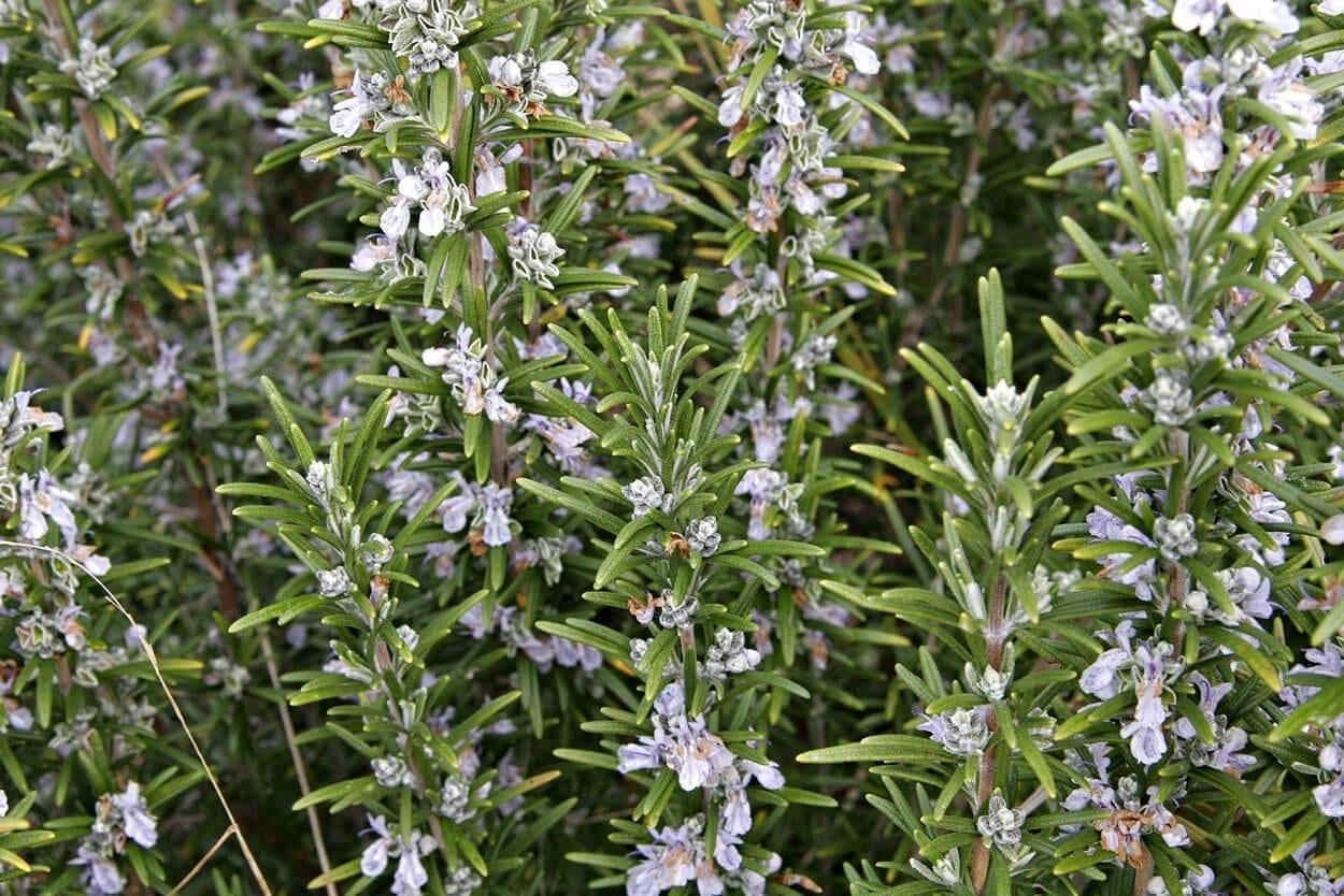 Kitchen herbs that heal