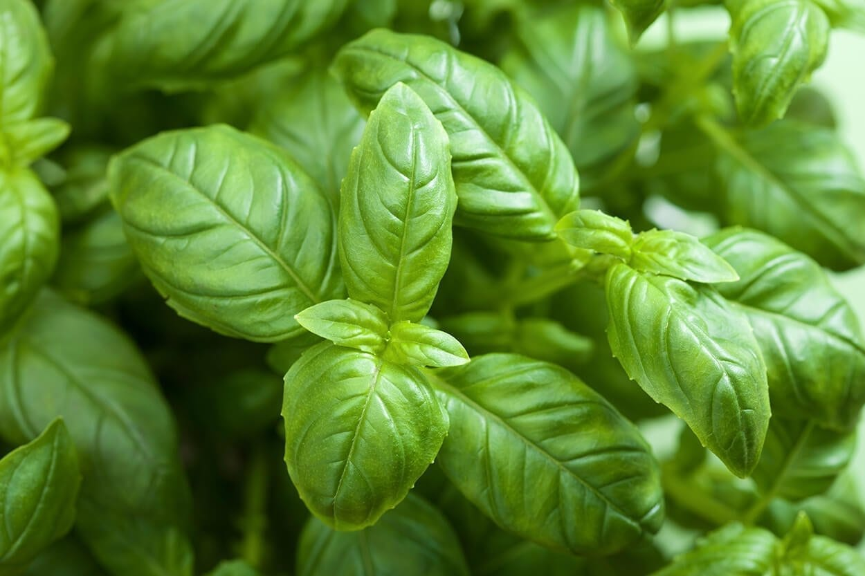 Best fresh basil recipes
