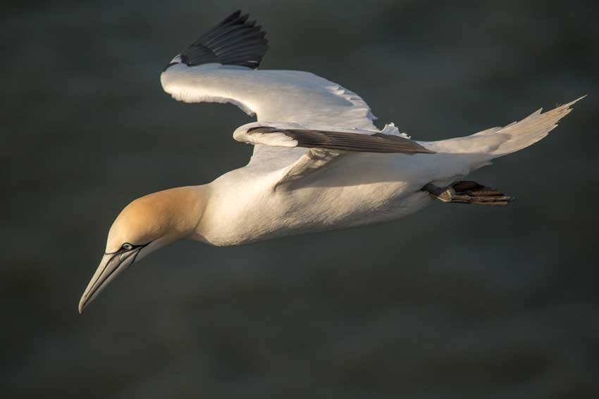 Gannet - Bempton Cliffs, Yorkshire taken by Ellie Sutch