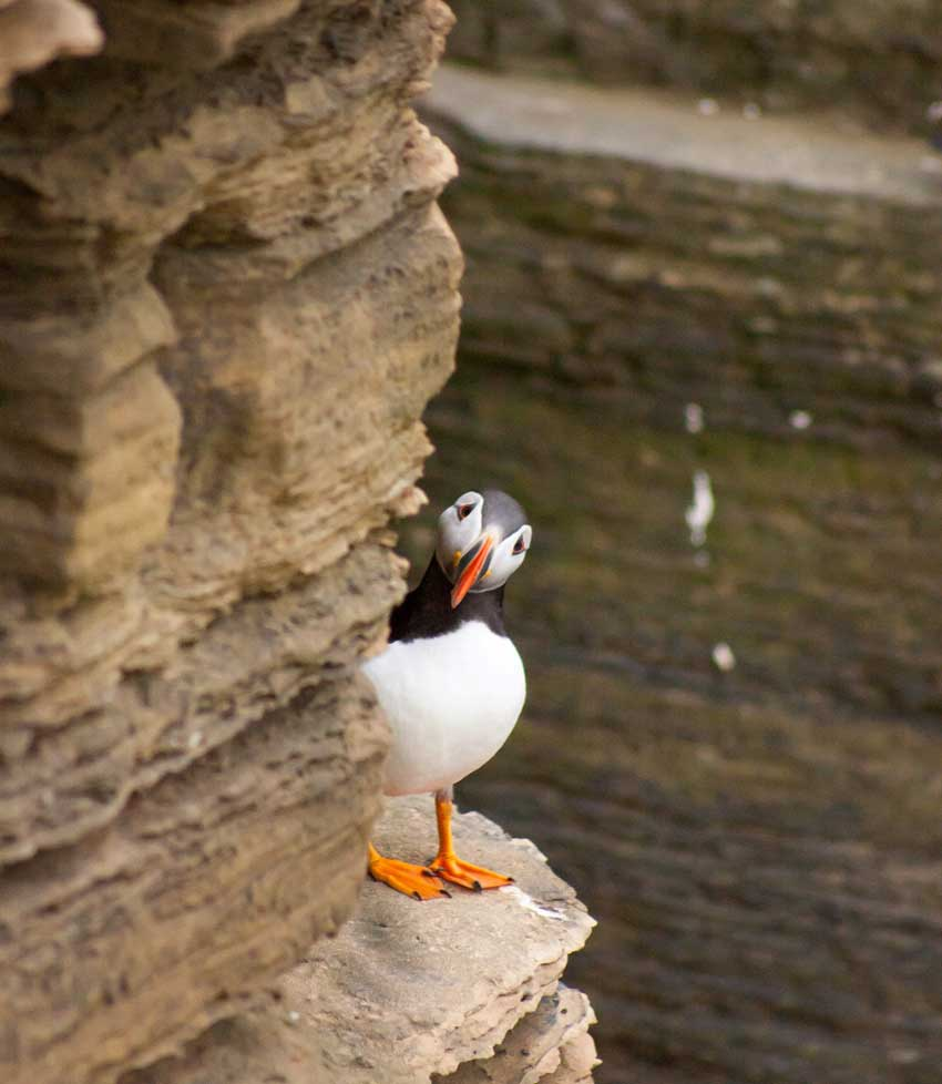 Peeping Puffin, Brough of Birsay, Orkney