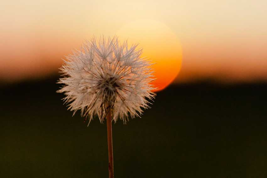 A Dandelion clock back lit by the setting sun.