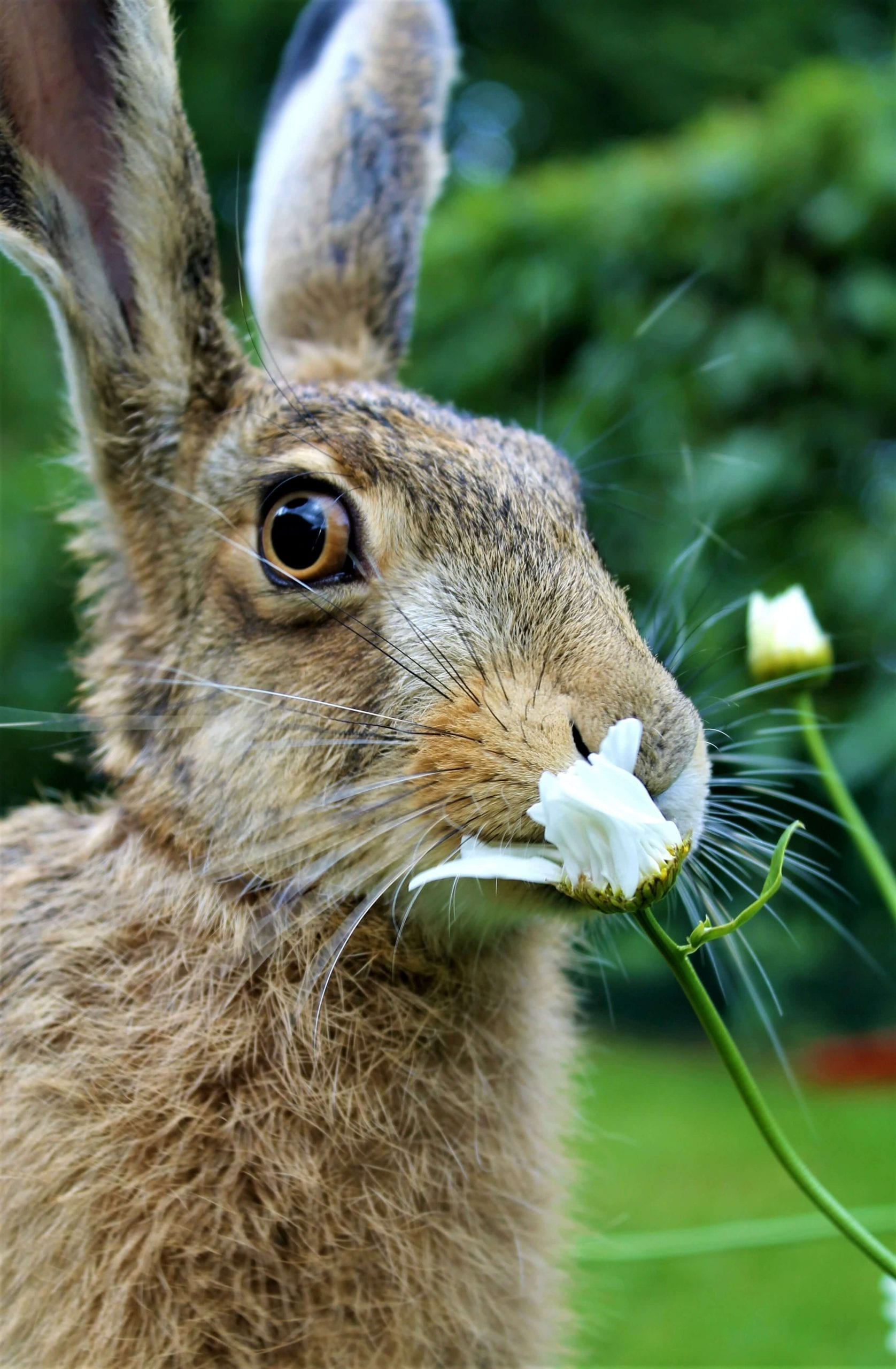 hare eating a flower