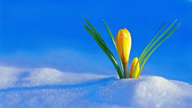 yellow flower in snow