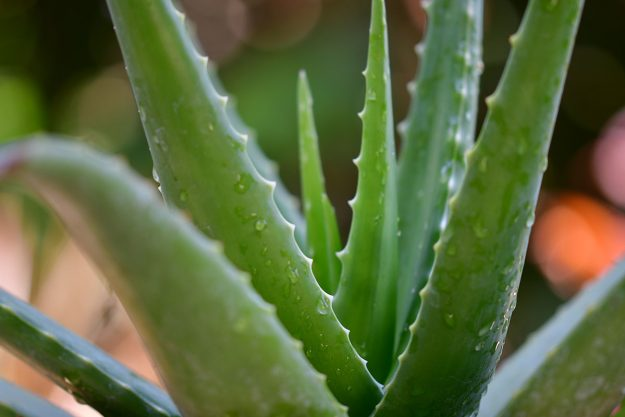 Aloe aloe aloe! Why you need this super-plant